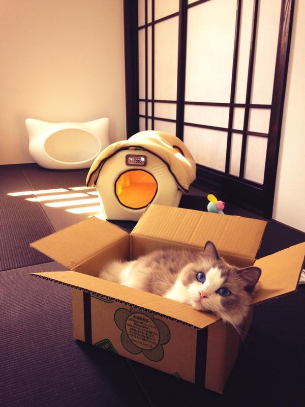 そっちかい! せっかく買ったネコハウスに見向きもせずダンボールに入る猫(笑)cat_0042