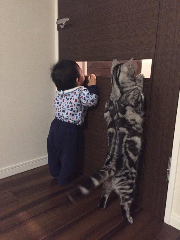 【猫おもしろ画像】ニャにニャに? ドア窓から覗く赤ちゃんが気になって一緒に覗くアメリカンショートヘア(笑)