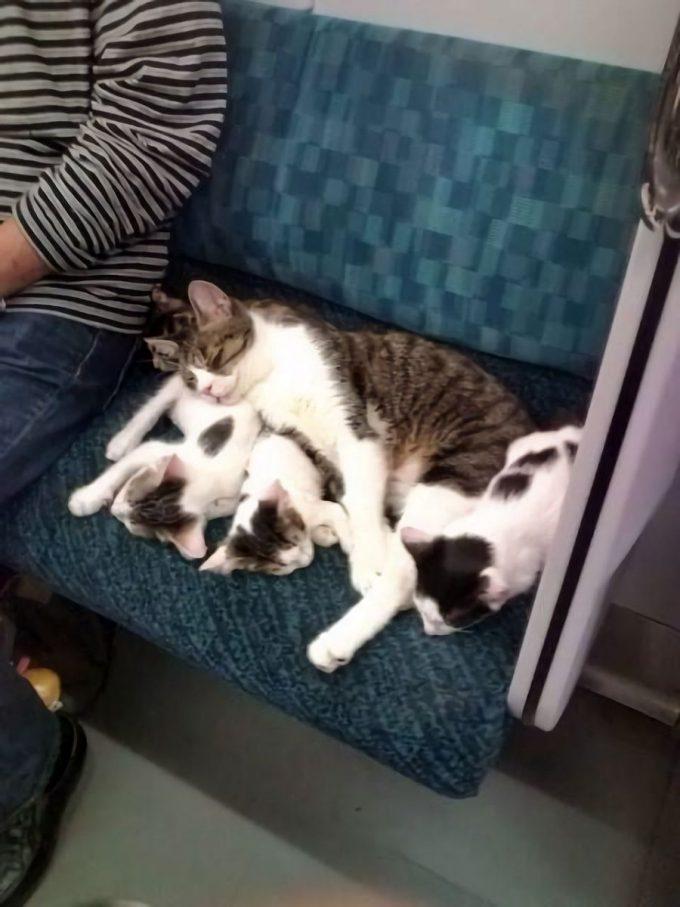 【猫おもしろ画像】電車内で気持ちよさそうに眠る猫ファミリーが可愛すぎて起こせない(笑)cat_0054