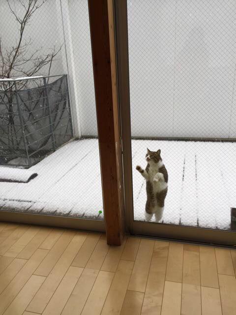 【猫おもしろ画像】見たい寒い! 珍しい雪に興味津々な猫様がとった行動がわがまますぎ(笑)