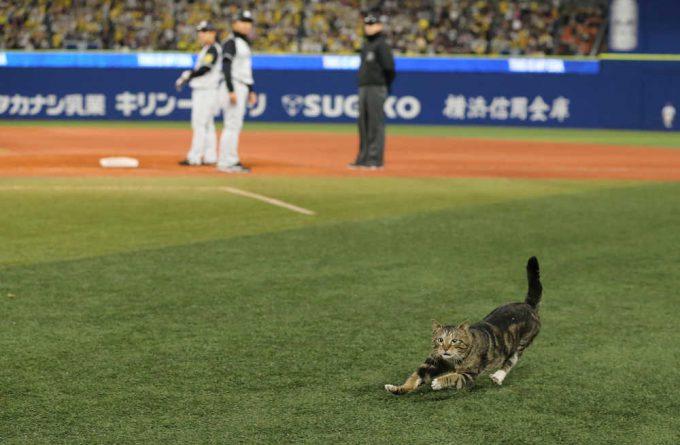 【猫おもしろ画像】幸運の猫? 阪神対DeNA戦に猫が乱入したおかげで阪神勝利(笑)