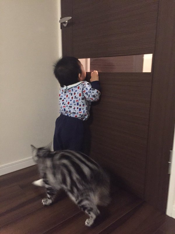 ニャにニャに? ドア窓から覗く赤ちゃんが気になって一緒に覗くアメリカンショートヘア(笑)