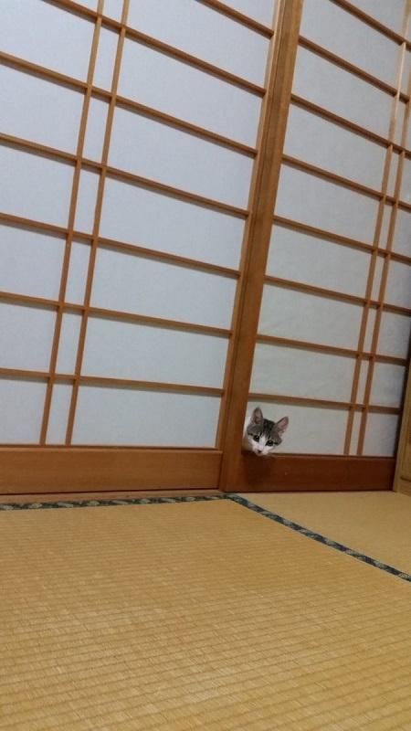 ひょこ! 悪びれることなく、キレイな障子を突き破って顔を出すネコ(笑)cat_0053