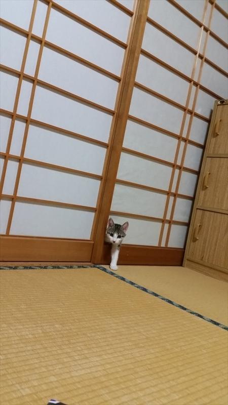 ひょこ! 悪びれることなく、キレイな障子を突き破って顔を出すネコ(笑)cat_0053_01