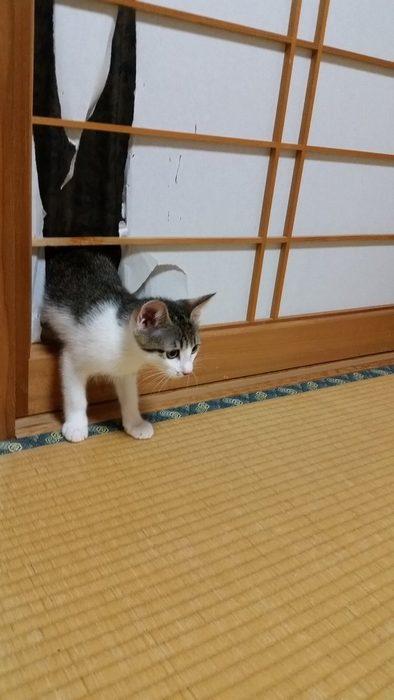 ひょこ! 悪びれることなく、キレイな障子を突き破って顔を出すネコ(笑)cat_0053_04