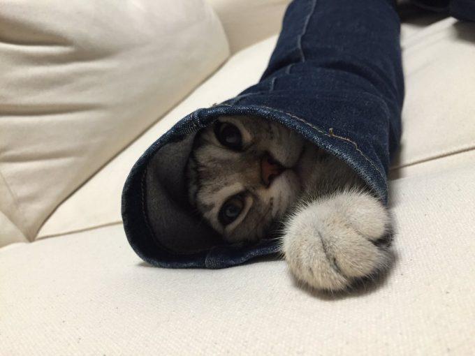【猫おもしろ画像】出れない! スキニージーンズに詰まって絶望しているアメショー子猫が面白かわいい(笑)cat_0067_03