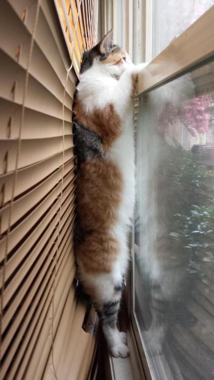 見たい! ブラインドと窓の隙間から必死に外を見ようとするネコ(笑)cat_0075