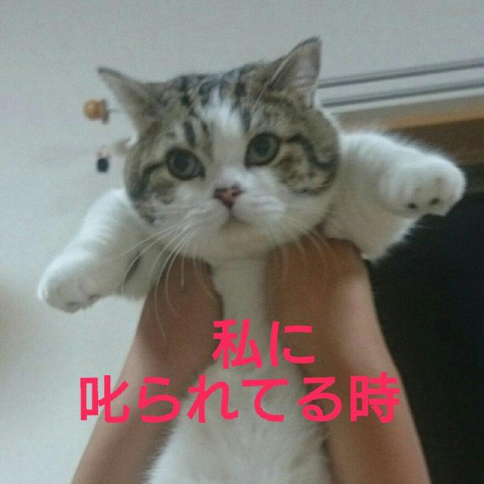 愛嬌! 奥さんが叱った時と旦那さんが叱った時で表情が違うあざといマンチカン(笑)cat_0082