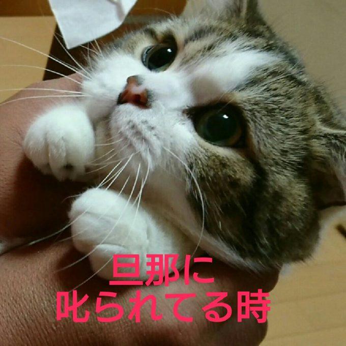 愛嬌! 奥さんが叱った時と旦那さんが叱った時で表情が違うあざといマンチカン(笑)cat_0082_01