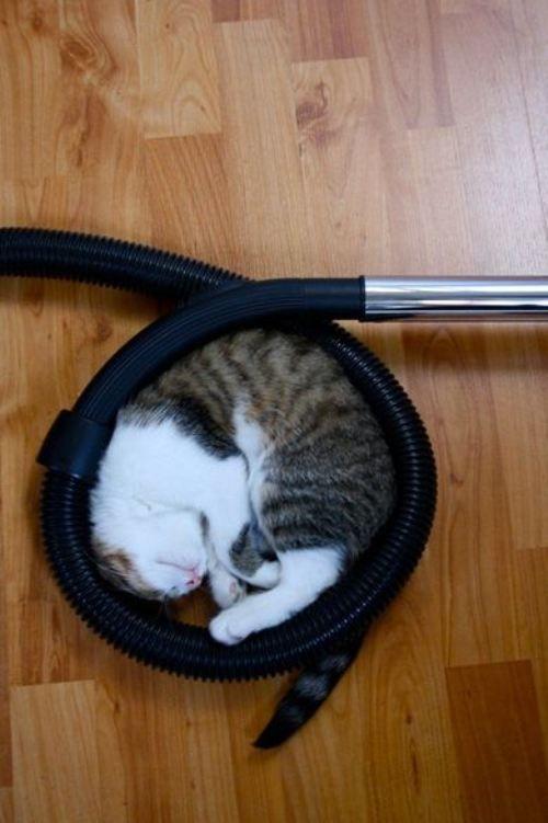 落ち着くニャ! 掃除機のホースが丸まっているところで眠る猫(笑)