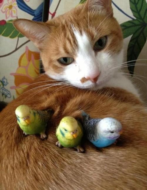 【猫おもしろ画像】背中に乗ったかわいいインコたちのせいで動けない猫(笑)cat_0093