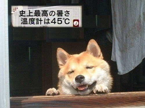 【犬おもしろ画像】猛暑でバテる柴犬がかわいい(笑)