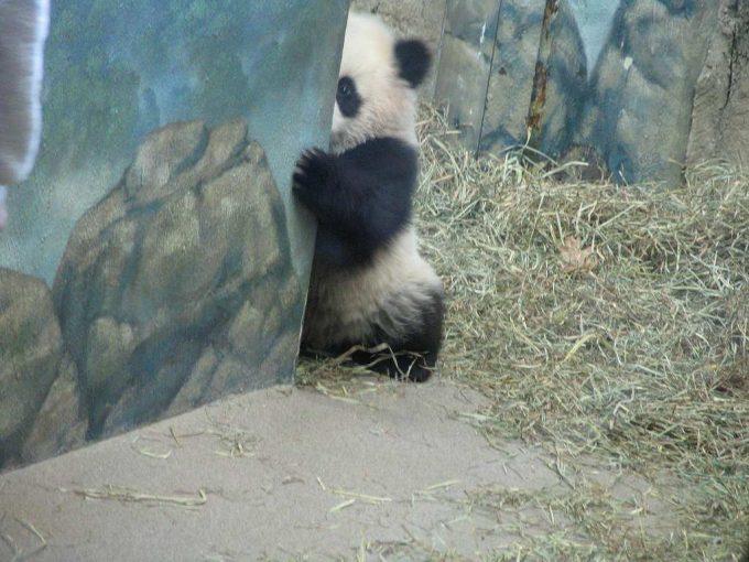 チラッ! 動物園で壁に隠れてちらり見るパンダがかわいい(笑)animal_0100