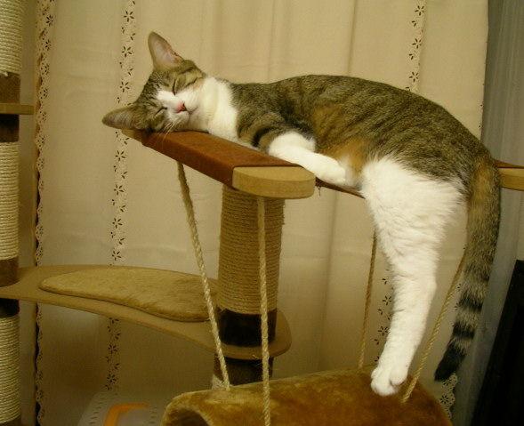 疲れたニャー! ねこちゃんタワーで遊び疲れたのか、すごい姿勢で眠るネコ(笑)cat_0110