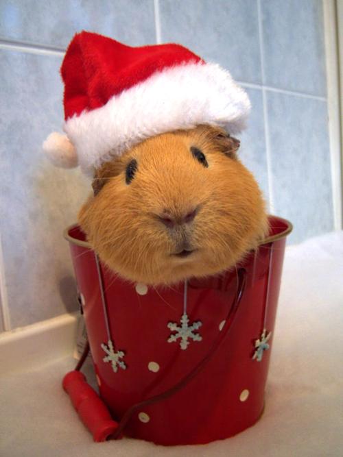 バケツからこんにちは! サンタ帽子が似合いすぎなハムスター(笑)christmas_0061