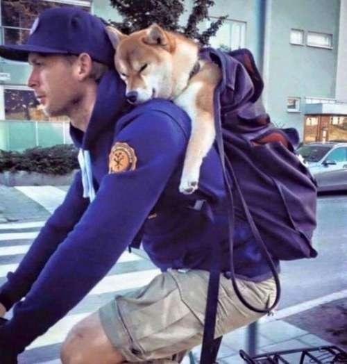 【犬おもしろ画像】むにゃむにゃ! 自転車で走行中の男性の背中で気持ちよさそうに眠る柴犬(笑)dog_0053