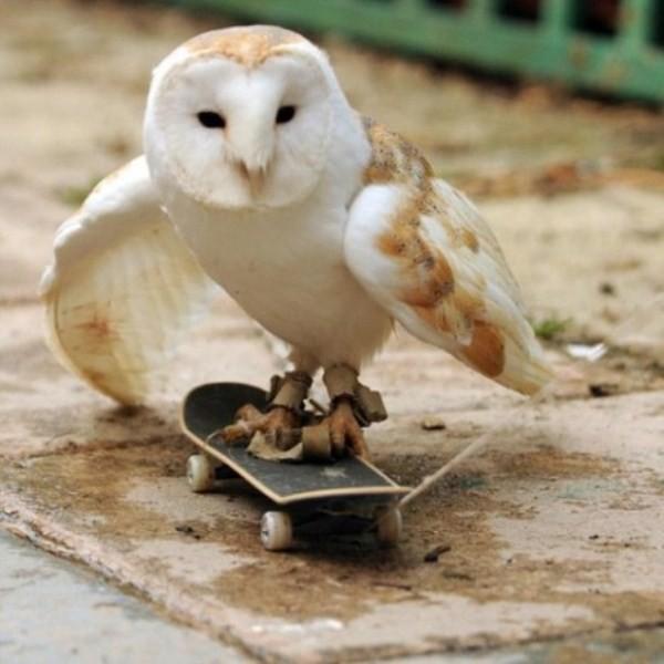 芸達者! スケボーを軽快に乗りこなすフクロウ(笑)animal_0122