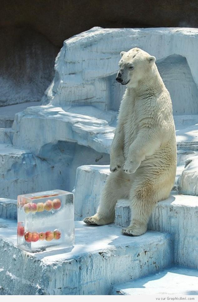 まだかなー! 氷漬けのリンゴが溶けるのをじっと見守るシロクマ(笑)animal_0124