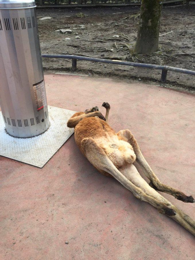 だらけすぎ! ストーブのせいで、サファリパークのカンガルーが完全に休日のおっさん!animal_0128