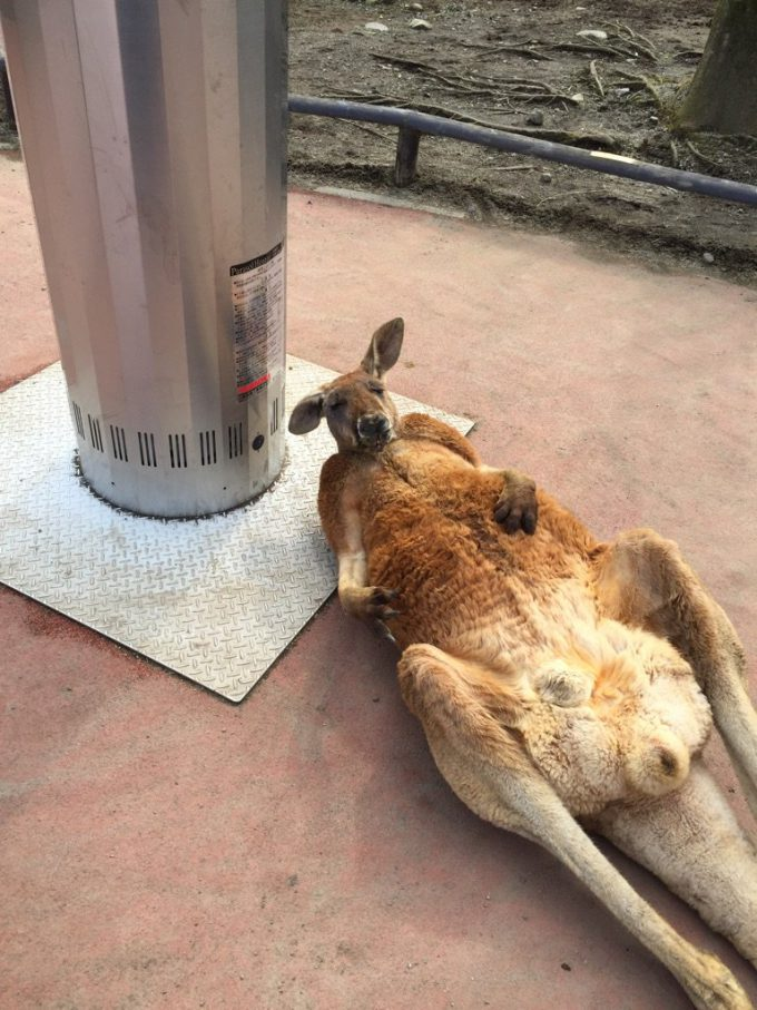 だらけすぎ! ストーブのせいで、サファリパークのカンガルーが完全に休日のおっさん!animal_0128_01