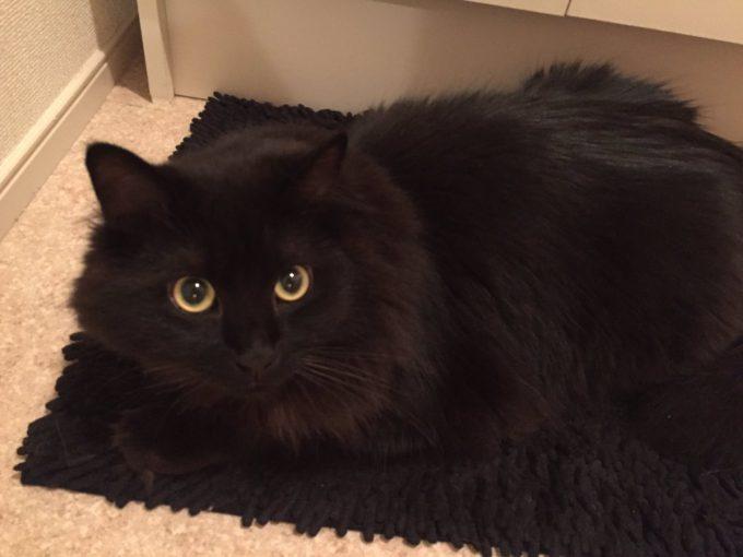 同化! 洗面所マットに同化した黒猫がんちゃんのステルススキルが高すぎる(笑)cat_0149_01