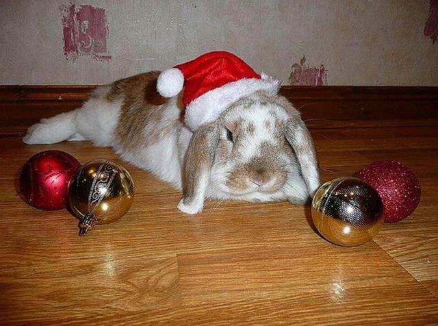 ずでーん! クリスマスだから色々やってあげたのにピクリともしないウサギ(笑)christmas_0081