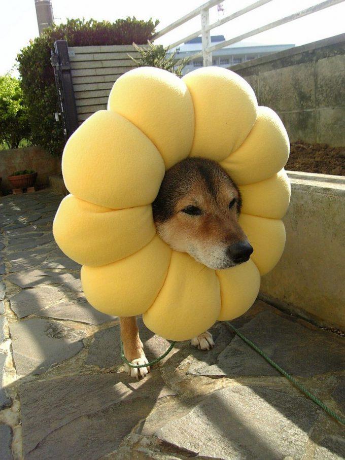 【犬おもしろ画像】もこもこしていて可愛いポン・デ・ライオン犬(笑)