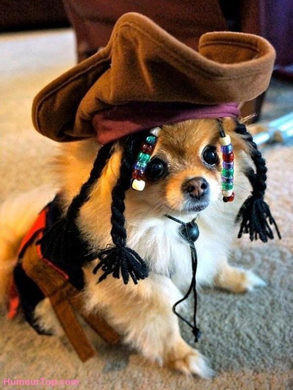 【犬おもしろ画像】かわいい! 『パイレーツ・オブ・カリビアン』のジャック・スパロウに扮するポメラニアン♪dog_0039