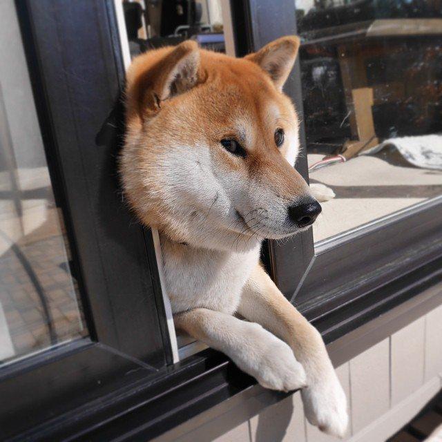 外が見たい! 狭い窓の隙間から外を眺める柴犬の顔がすごいことに(笑)dog_0040