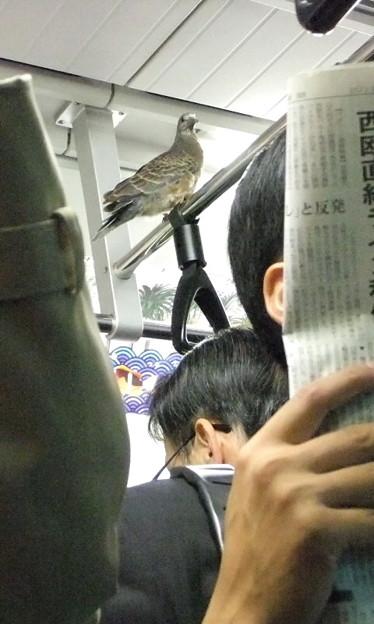 なぜここに? 地下鉄千代田線内で見かけた、つり革の鉄棒に佇むハト(笑)animal_0102