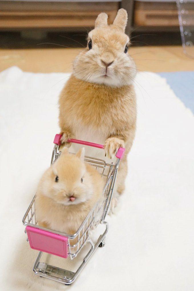 かわいい! 赤ちゃんうさぎの乗ったショッピングカートを押すイクメンうさぎ(笑)animal_0106