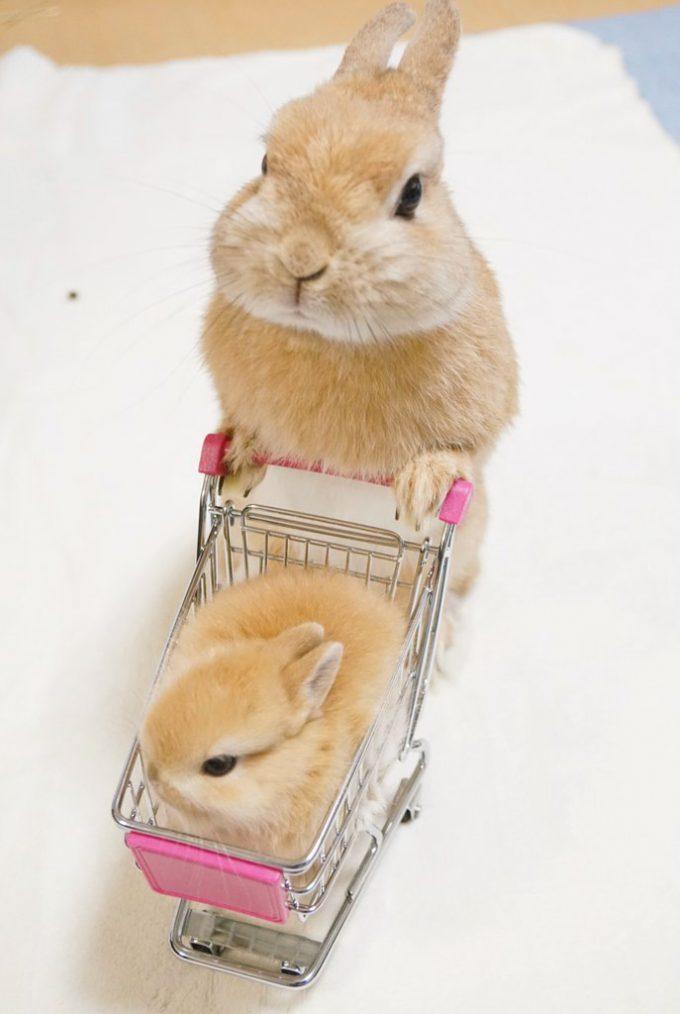 かわいい! 赤ちゃんうさぎの乗ったショッピングカートを押すイクメンうさぎ(笑)animal_0106_01