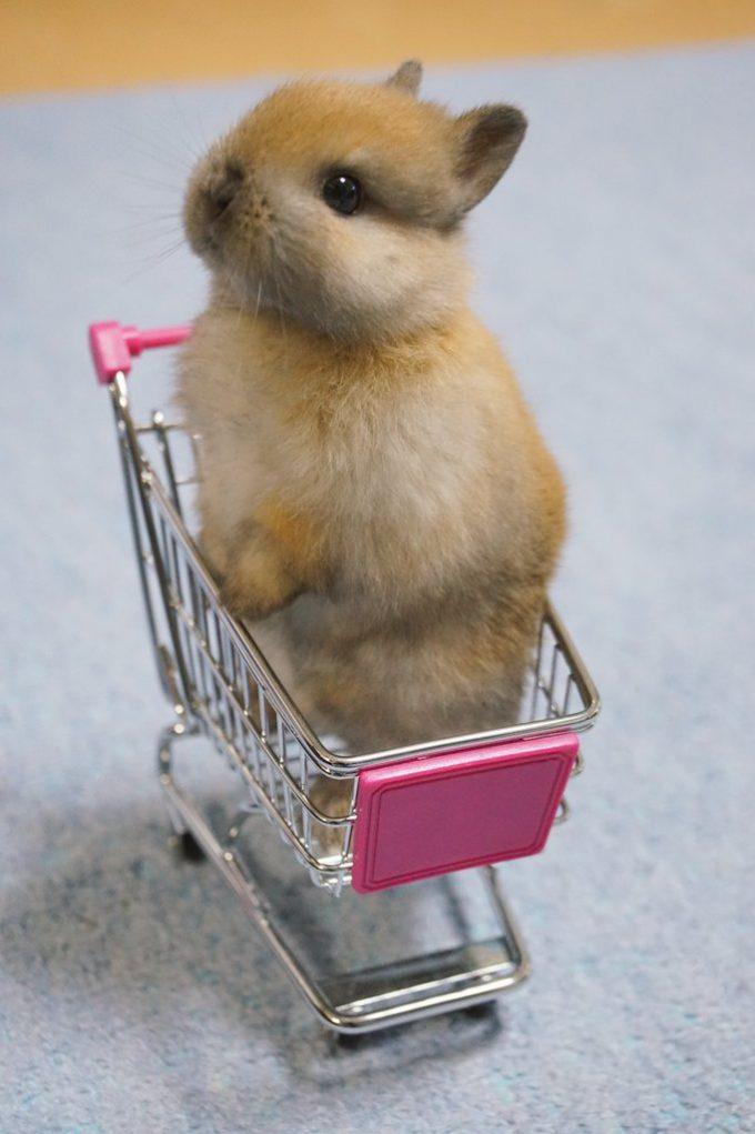 かわいい! 赤ちゃんうさぎの乗ったショッピングカートを押すイクメンうさぎ(笑)animal_0106_02