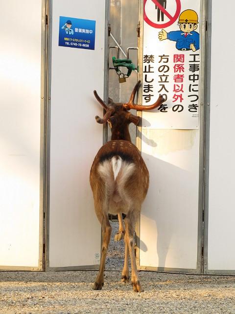 立ち入り禁止! 工事現場の「関係者以外立ち入り禁止」を無視して入っていく鹿(笑)animal_0121