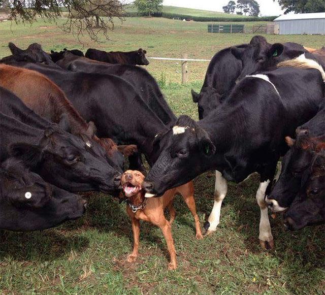 【犬おもしろ画像】べろんべろん! 牛たちに囲まれて顔を舐められる犬の表情(笑)animal_0140