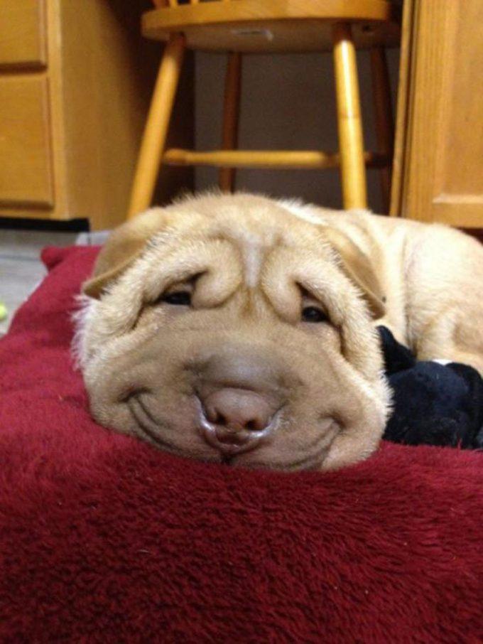 ムギュ! 横になって潰れた寝顔の犬がブサかわいい笑dog_0004