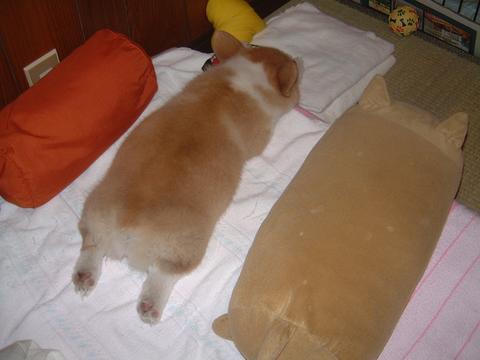 布団に横になっているコーギーと犬クッションと寝袋がそっくり(笑)dog_0005