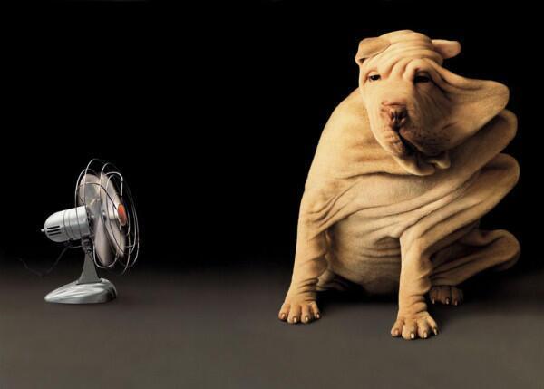 伸びすぎ! 扇風機の風で全身の皮が伸びてるシャー・ペイ犬(笑)dog_0015