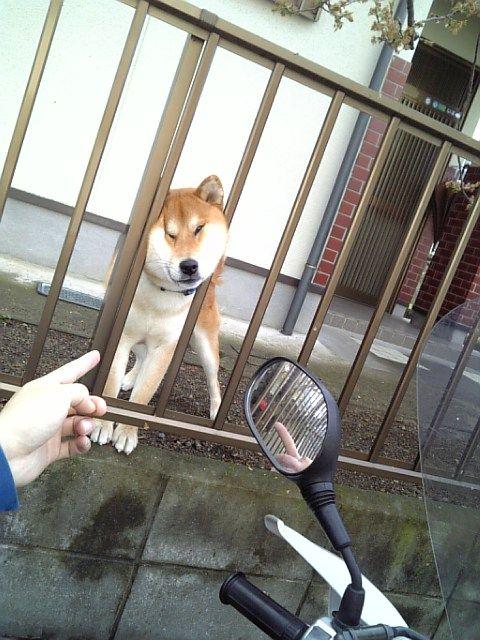 むにぃ! フェンスから顔を出そうとする柴犬の表情がゆがみすぎ(笑)dog_0042