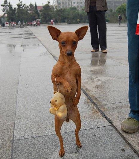【犬おもしろ画像】二足歩行で歩くおもしろい犬(笑)