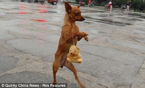 二足歩行! 中国で話題になった人間と同じように歩く犬(笑)animal_0105_02