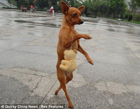 二足歩行! 中国で話題になった人間と同じように歩く犬(笑)animal_0105_03