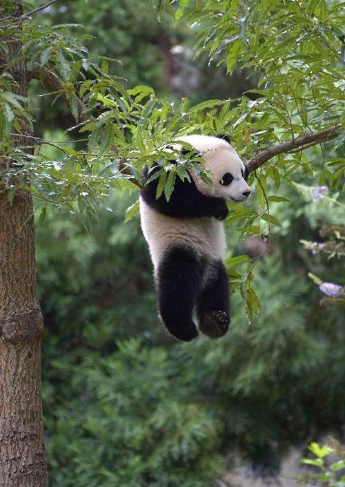 助けてー! 木の枝に引っかかって落ちちゃいそうなパンダがかわいい(笑)animal_0107