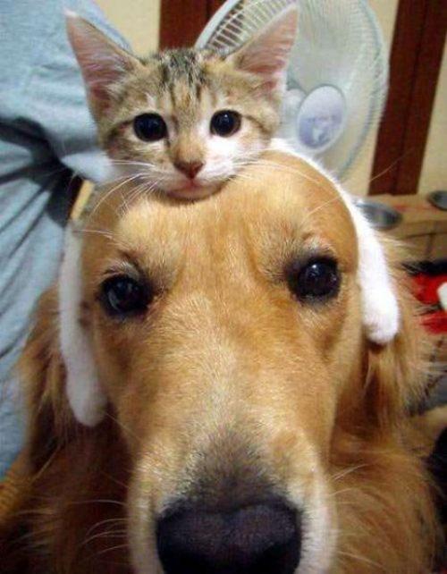 【犬猫おもしろ画像】犬の頭の上でくつろぐ猫がまるでイヤーマフ(笑)cat_0115
