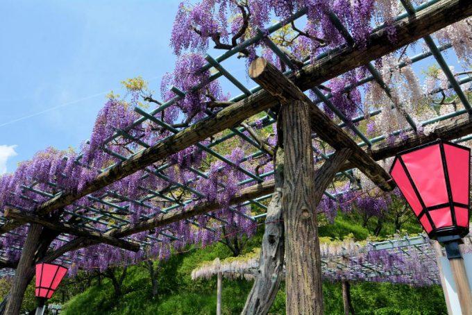 蓮華寺公園の藤まつり