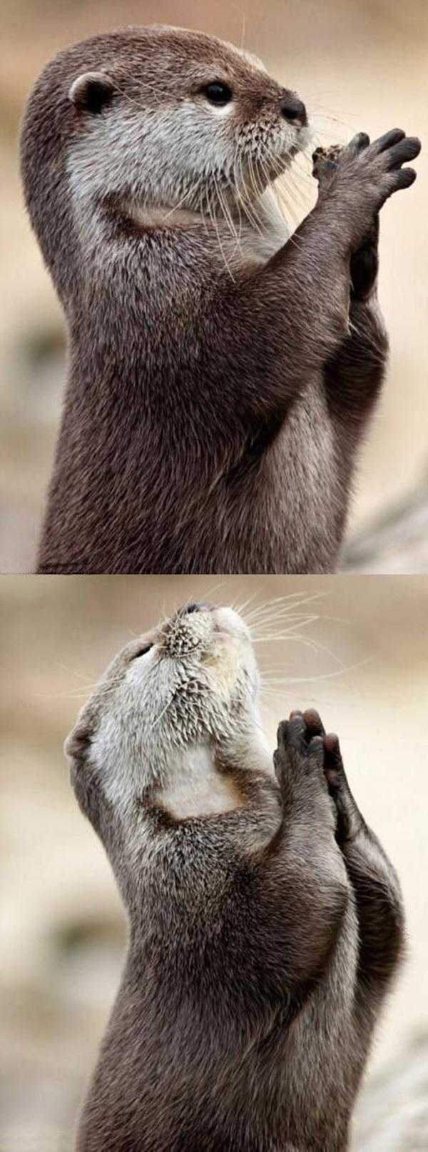 神よ! 天に祈るようなしぐさが人間みたいでかわいすぎるカワウソ(笑)animal_0108