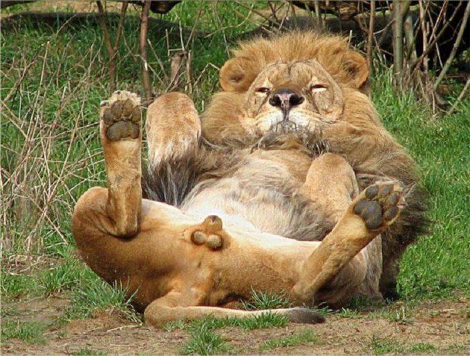 くつろぎすぎ! ライオンが仰向けでリラックスし過ぎて目のやり場に困る(笑)