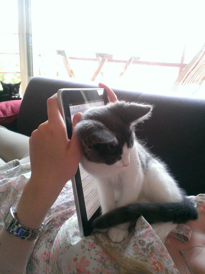 見えない! タブレットでネットを見ていると邪魔をしてくる猫がかわいい(笑)cat_0117