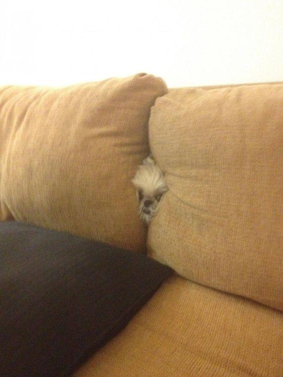 つぶれる! ソファーのあり得ない所から顔を出す犬がかわいい(笑)dog_0022