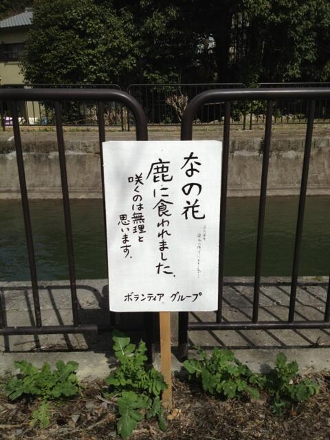 無理! 京都「毘沙門堂」のボランティアグループが手入れしていた菜の花に衝撃の事態(笑)adsign_0114